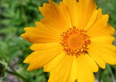 sand coreopsis 2